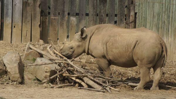 Rinoceronte - Sputnik Mundo