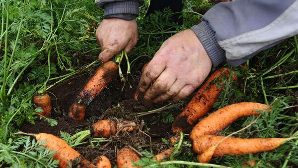 Una persona cultiva zanahorias en Bielorrusia (archivo) - Sputnik Mundo