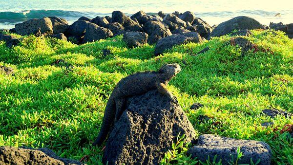 Iguana en las Islas Galápagos - Sputnik Mundo