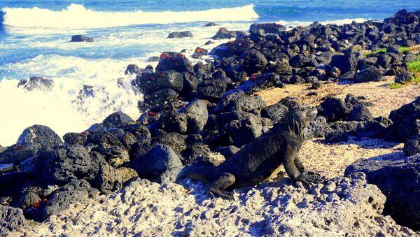 Iguana disfruta el sol en las Islas Galápagos - Sputnik Mundo