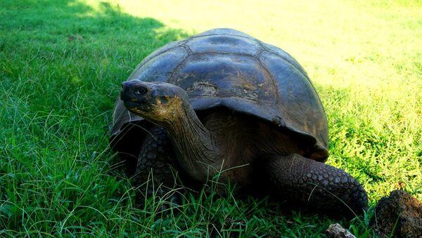Una tortuga - Sputnik Mundo