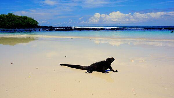 Una iguana en la playa (imagen referencial) - Sputnik Mundo