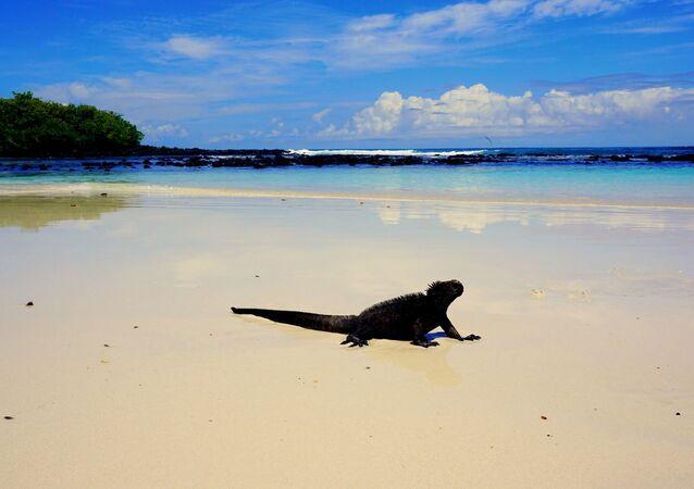 Una iguana en la playa, las Islas Galápagos