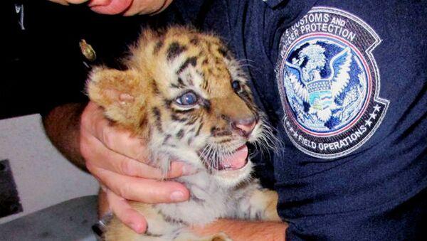Un tigre bengala confiscado en la frontera mexicana - Sputnik Mundo