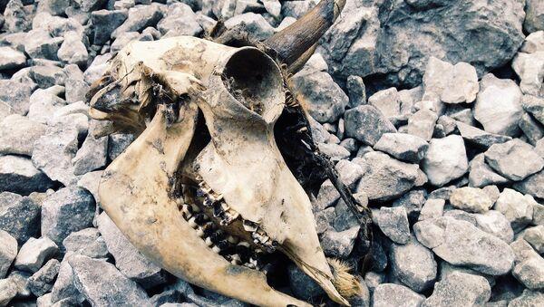 Cráneo de un animal (imagen referencial) - Sputnik Mundo