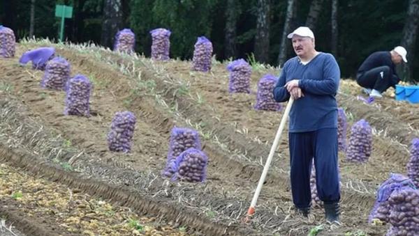 Lukashenko, agricultor: día de recolección de papa para el presidente de Bielorrusia - Sputnik Mundo