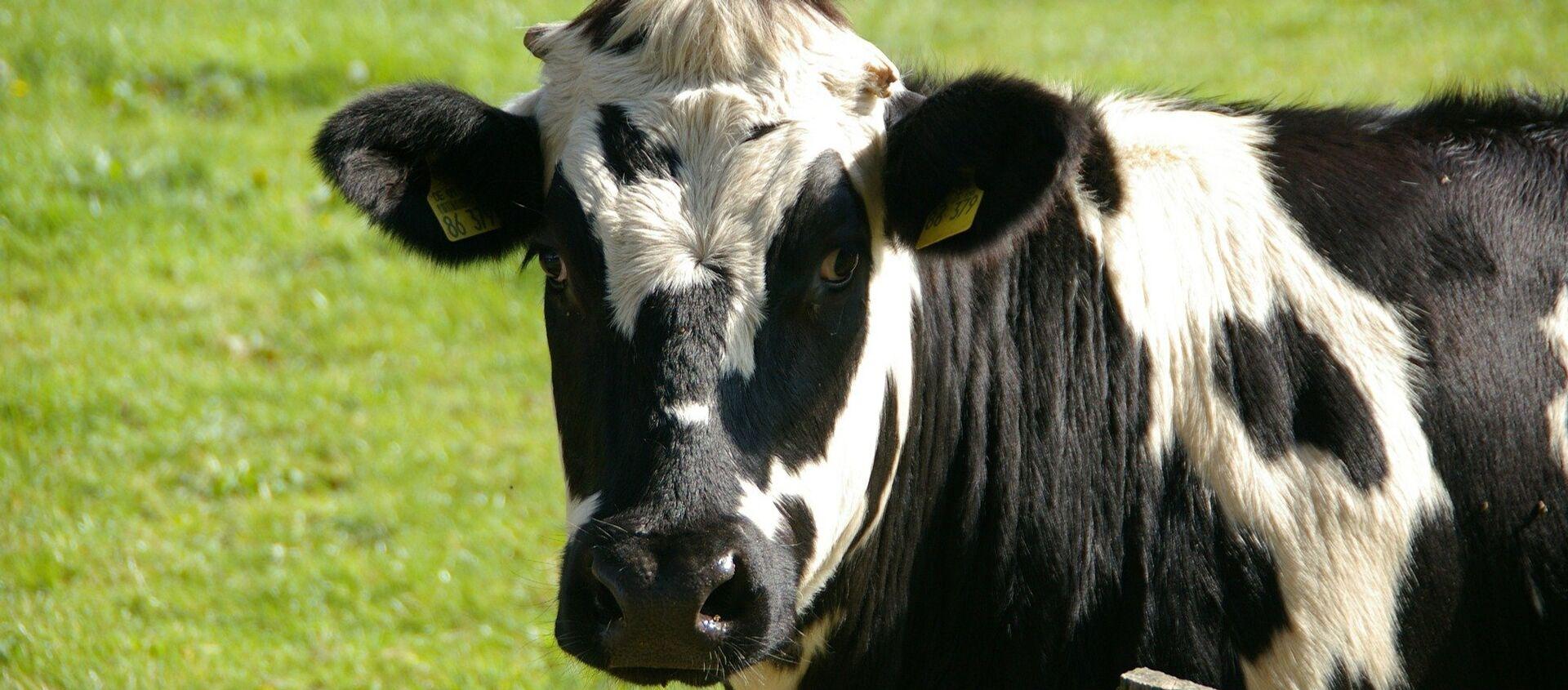 Una vaca (archivo) - Sputnik Mundo, 1920, 31.05.2019