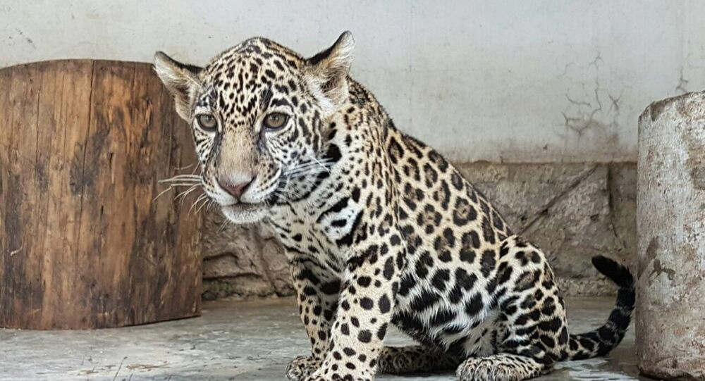México, país donde se protege a los jaguares