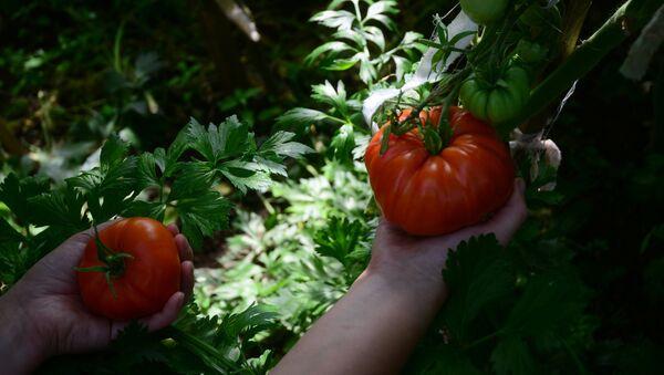 Cultivo de tomates en invernaderos de la región de Moscú - Sputnik Mundo