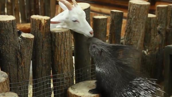 La increíble relación entre un puercoespín y una cabra en el zoológico de la ciudad de Ufá - Sputnik Mundo