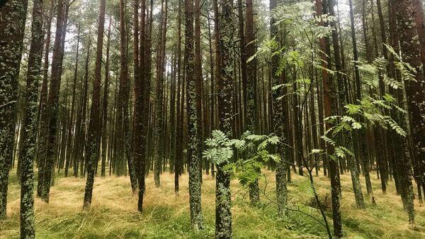 Los bosques del Parque Natural del Istmo de Curlandia son Patrimonio de la Unesco - Sputnik Mundo
