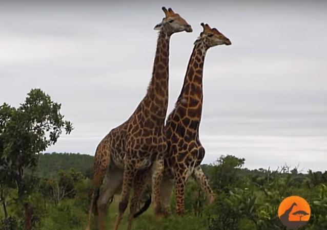 Jirafas en el Parque Nacional Kruger