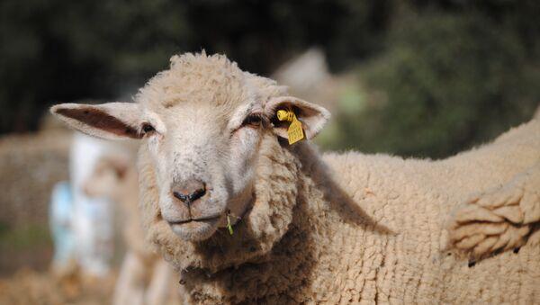 Una oveja (imagen referencial) - Sputnik Mundo