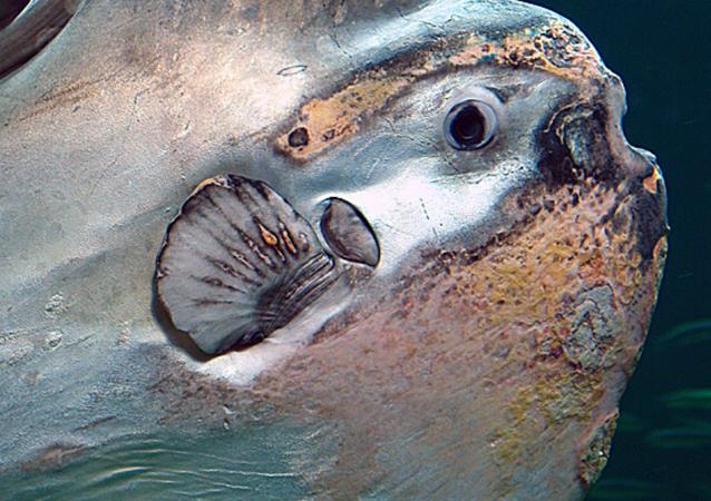 Un pez luna