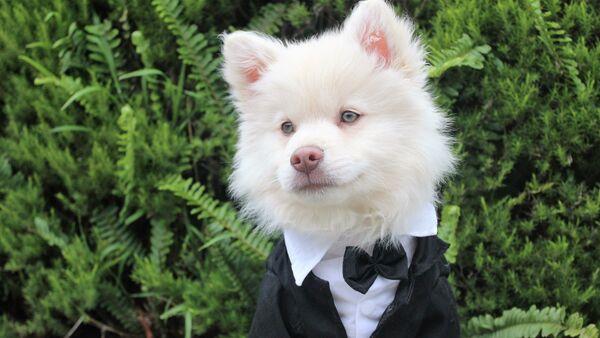 Un perro de traje - Sputnik Mundo