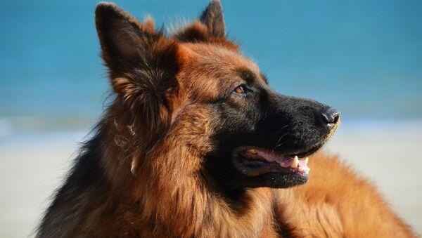 Un perro (imagen referencial) - Sputnik Mundo