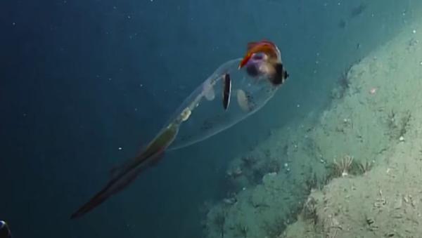 Este calamar translúcido te robará el corazón - Sputnik Mundo