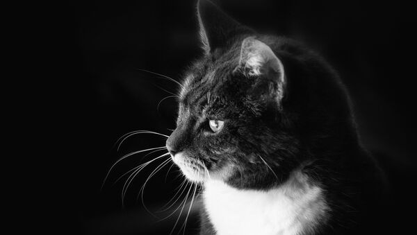 Un gato en blanco y negro - Sputnik Mundo