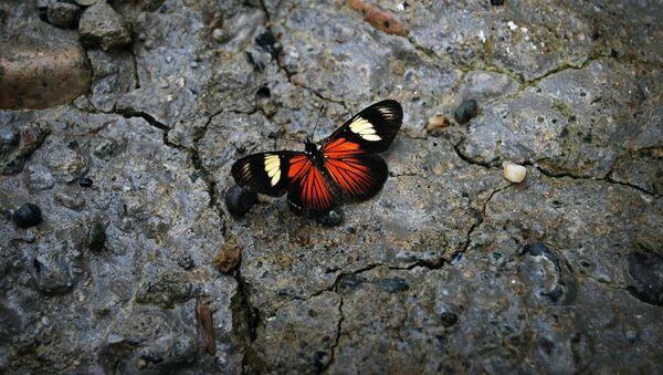 Una mariposa en la piedra, una especie en peligro de extinción - Sputnik Mundo