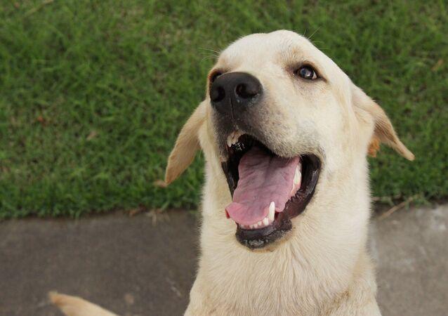 Un perro labrador