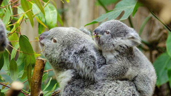 Un koala y su cría - Sputnik Mundo