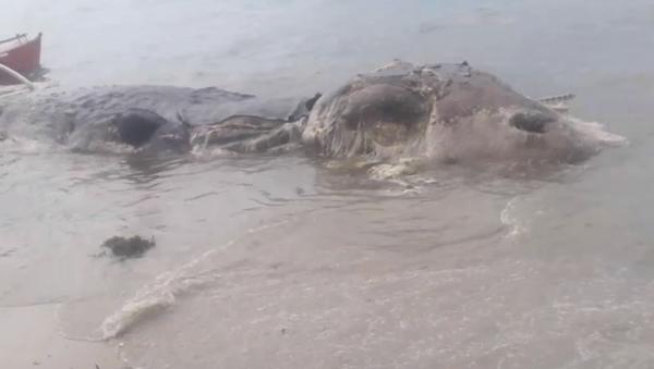 Gigantesco 'monstruo marino' aparece en una playa de Filipinas - Sputnik Mundo