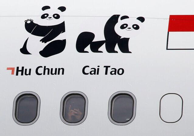 Las imagenes de los pandas chinos Hu Chun y Cai Tao, entregadas a Indonesia