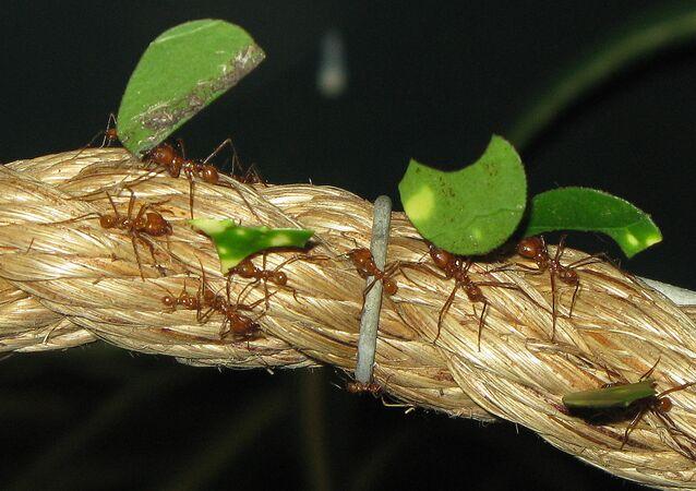 Hormigas cortadoras de hojas