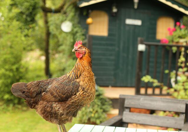 Un pollo (imagen referencial)