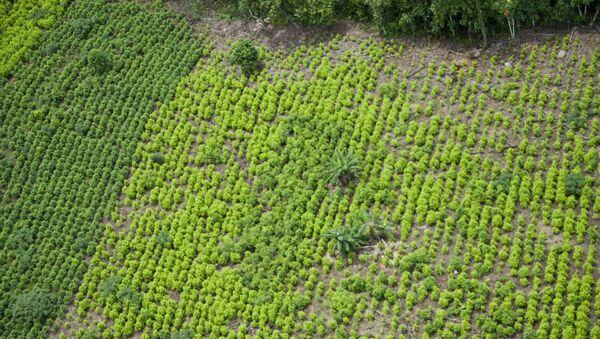 Una plantación de coca en Colombia - Sputnik Mundo