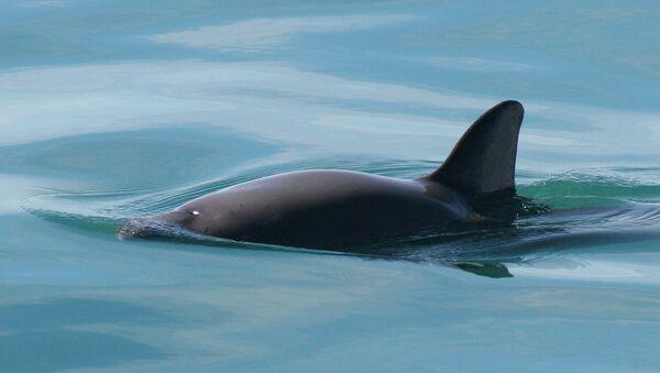 Vaquita marina - Sputnik Mundo