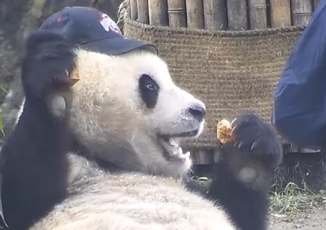 El panda Quing Quing, toda una estrella en internet
