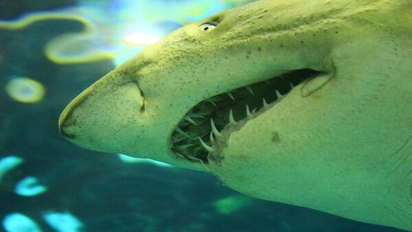 Un tiburón (imagen referencial) - Sputnik Mundo