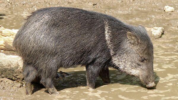 Un cerdo de monte - Sputnik Mundo
