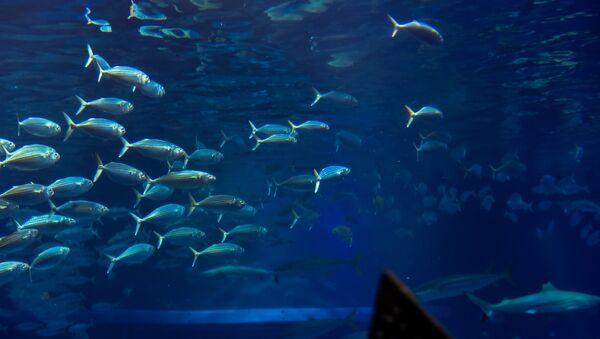 Un enjambre de peces - Sputnik Mundo