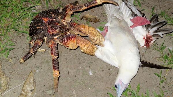 Un cangrejo se abalanza sobre un pájaro y se lo come - Sputnik Mundo