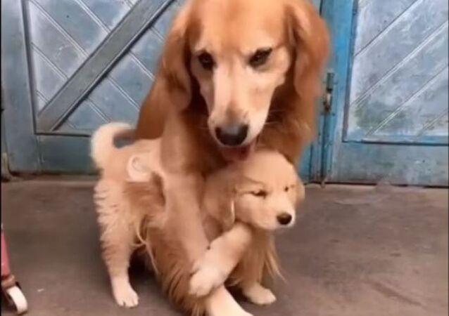 Una golden retriever protege a su cachorro