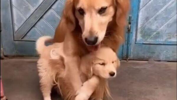 Una golden retriever protege a su cachorro - Sputnik Mundo