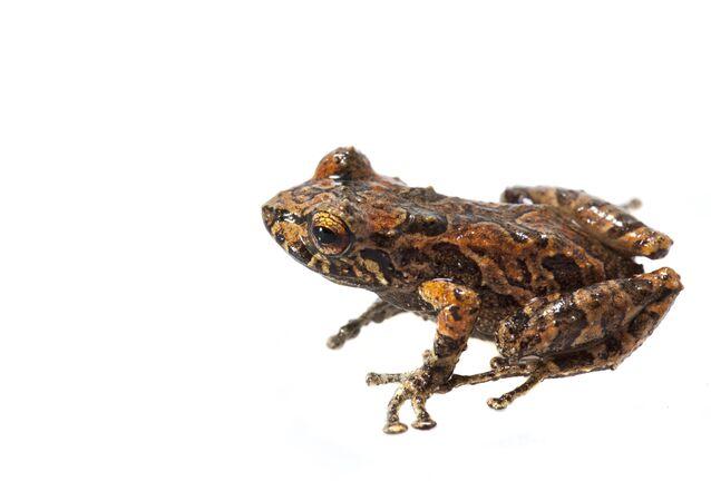 Pristimantis sp. Una de las nuevas especies de anfibios de Colombia