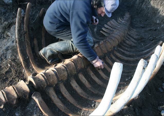 Los restos de una vaca marina de Steller (Hydrodamalis gigas) en la reserva natural de Komandorski, Rusia, noviembre de 2017