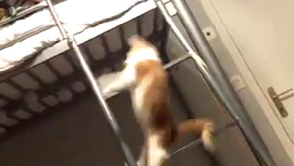 El gato acróbata más ágil del mundo sorprende a todos con sus volteretas - Sputnik Mundo