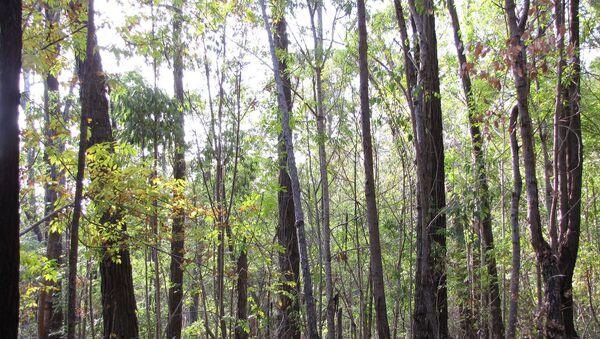 Un bosque con fresnos - Sputnik Mundo