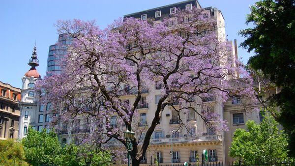 Un árbol de jacarandá en Buenos Aires - Sputnik Mundo