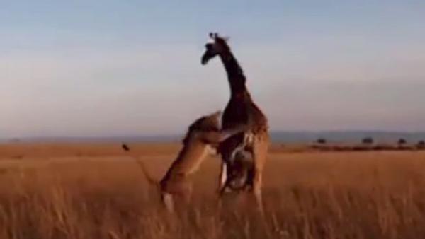 Naturaleza implacable: una jirafa no puede salvar a su cría de las garras de un león - Sputnik Mundo