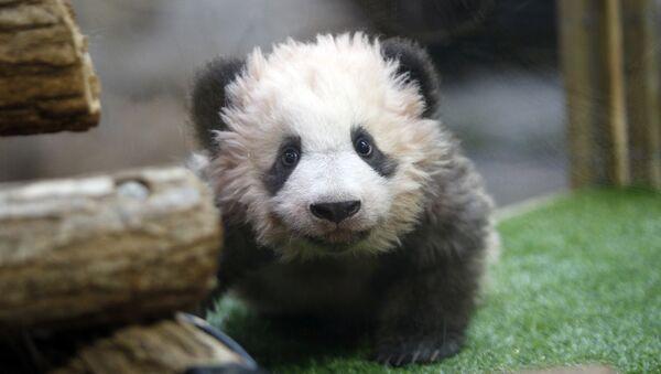 El bebé panda, llamado Yuan Meng, nombre que significa Sueño hecho realidad - Sputnik Mundo