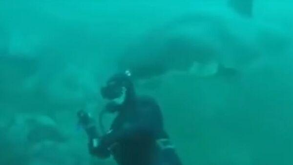 Un tiburón cerca de un buzo - Sputnik Mundo