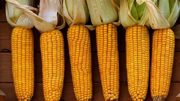 Las mazorcas de maíz - Sputnik Mundo