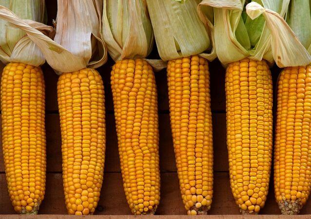 Las mazorcas de maíz
