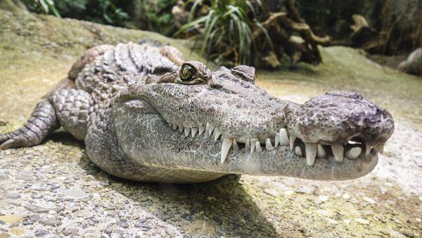 Un aligátor (imagen referencial) - Sputnik Mundo