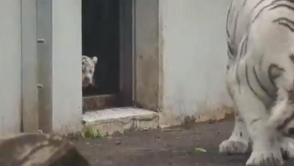 Un pequeño tigre blanco da un susto 'de muerte' a un ejemplar adulto - Sputnik Mundo